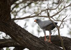 Pale Chanting Goshawk se nourrissant d'un petit oiseau photo stock