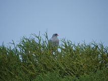 Pale chanting goshawk Royalty Free Stock Image