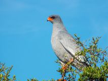 A Pale Chanting Goshawk sits on a thorn tree in the Addo Elephant Park, South Africa. stock images