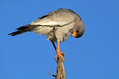 Pale Chanting goshawk, South Africa Royalty Free Stock Image