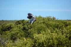 Pale Chanting Goshawk, South Africa. Pale Chanting Goshawk Melierax canorus, South Africa Stock Photo