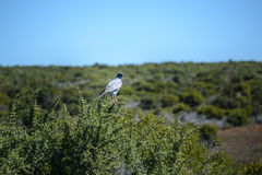 Pale Chanting Goshawk, South Africa. Pale Chanting Goshawk Melierax canorus, South Africa Royalty Free Stock Images