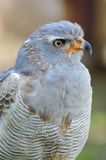 Pale Chanting-goshawk Stock Photos