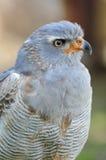Pale Chanting-goshawk. Southern or Pale Chanting Goshawk - Melierax canorus Stock Photos