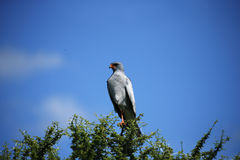 Pale Chanting Goshawk. Southern Pale Chanting Goshawk perched high on a dead tree looking over the Central Kalahari plains stock image