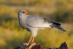 Pale Chanting Goshawk. A Pale Chanting Goshawk standing on a tree stump, looking back over it's shoulder Stock Photo
