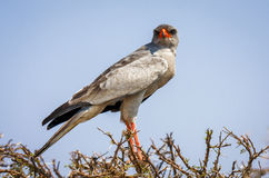 Pale chanting goshawk staring at viewer Stock Images
