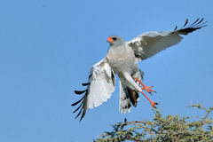 Pale Chanting Goshawk take off Royalty Free Stock Images