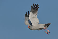 Pale Chanting Goshawk take off Royalty Free Stock Photography