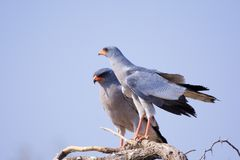 Pale Chanting Goshawk. View of Pale Chanting Goshawks in a thorn tree Royalty Free Stock Photos