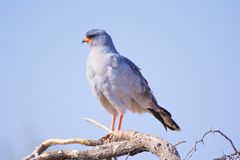 Pale Chanting Goshawk. View of a Pale Chanting Goshawk in a thorn tree Stock Photo