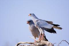 Pale Chanting-Hühnerhabicht Lizenzfreie Stockfotos