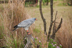 Pale Chanting-Hühnerhabicht Stockfotografie