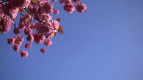 Pale cherry blossom flowers blooming in springtime. Clear blue sky on the background. stock video