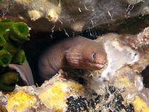 Pale Chin Moray - Gymnothorax herrei Stock Photography