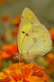 Pale clouded yellow butterfly Royalty Free Stock Photo