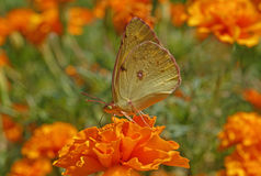 Pale clouded yellow butterfly Royalty Free Stock Photos