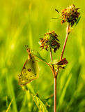 Pale clouded yellow butterfly sleeping on a culm Royalty Free Stock Images