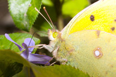 Pale Clouded yellow close-up / Colias hyale Stock Images