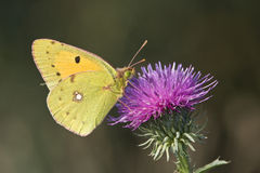 Pale Clouded Yellow / Colias Hyale Stock Photography