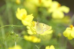 Pale Clouded Yellow oriental sur le cosmos photo stock
