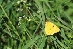 Pale clouded yellow. On the grass royalty free stock images