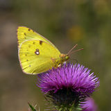 Pale Clouded Yellow Stock Images