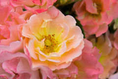 Pale color of roses mix of pink and orange Royalty Free Stock Image