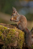 Pale colored red squirrel eating a hazelnut Royalty Free Stock Image