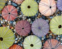 Pale colored sea urchins on pebbles beach top view. Natural pattern summer background royalty free stock photo