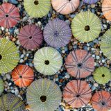 Pale colored sea urchins on pebbles beach top view. Natural pattern summer background stock photos