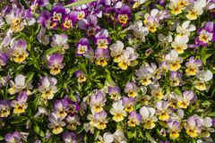 Purple, yellow and white Viola flowers. Close-up of ornamental flowering Viola plants Stock Photos