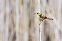 Pale-crowned Cisticola Royalty Free Stock Image