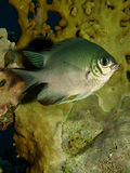 Pale Damselfish Stock Images
