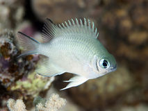 Pale Damselfish Stockfoto