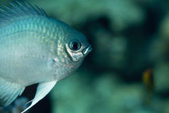 Pale damselfish Royalty Free Stock Photos