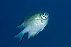 Pale Damselfish Royalty Free Stock Photo