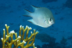 Pale Damselfish. Amblyglyphidodon indicus Royalty Free Stock Image