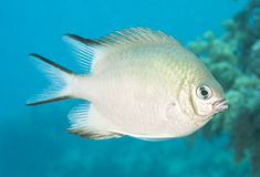 Pale damselfish swimming in blue water. Pale damselfish swimming midwater on a tropical coral reef Stock Photography