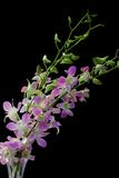 Pale dendrobium orchid on black. Pale purple and white dendrobium orchid on black background Stock Photos