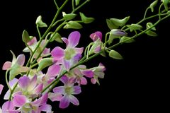 Pale dendrobium orchid on black. Pale purple and white dendrobium orchid on black background Royalty Free Stock Photography
