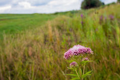 Pale dusty pink flowering hemp-agrimony in the foreground of a r Stock Image