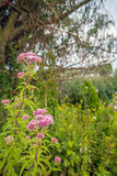 Pale dusty pink flowering hemp-agrimony in the foreground of a r Royalty Free Stock Photos