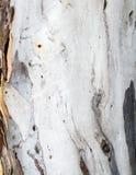 Pale eucalyptus tree bark Stock Images