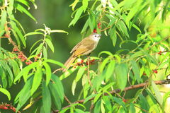 Pale-faced bulbul Stock Photography