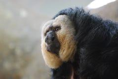 Pale Faced Saki Monkey Royalty Free Stock Photography
