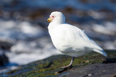 Pale faced Sheathbill or snowy sheathbill, Falkland Islands. Royalty Free Stock Images
