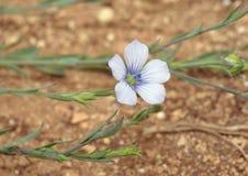 Pale Flax foto de stock royalty free
