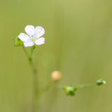Pale flax (Linum bienne) in flower Stock Photography