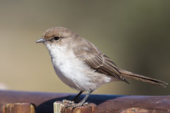 Pale Flycatcher Royalty Free Stock Photography